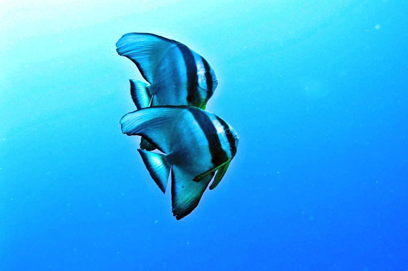 Ranveli Island Resort - Ranveli Diving Batfish